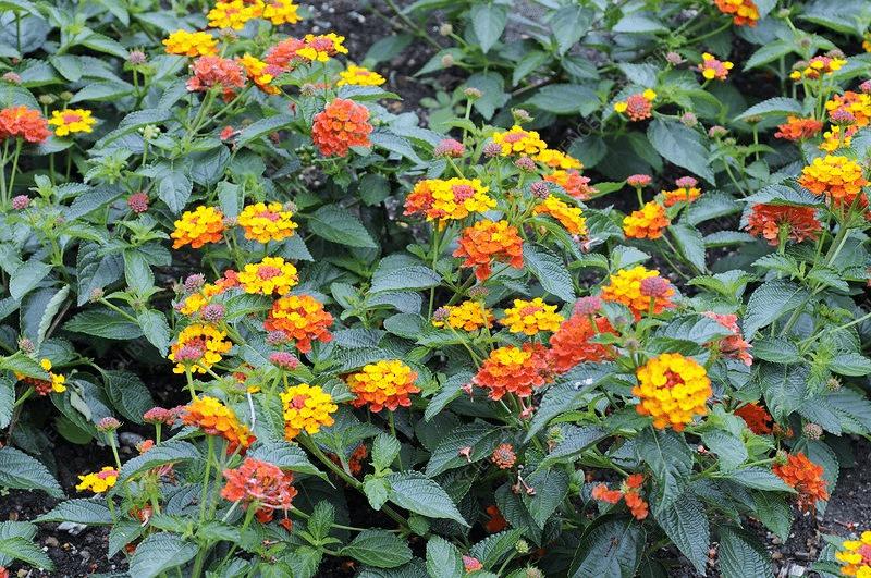 ગંધાતી ફૂલકાકરી (લેન્ટેના) (Lantana camara)