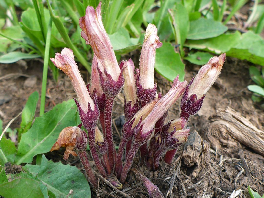 વાકુંબો (Broom rape, orobanche spp.) પરજીવી નિંદણ